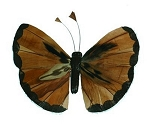 Mini fashion butterfly w/stem brown  (6/pk)